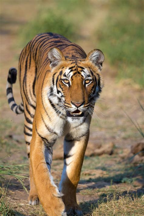 Panthera tigris   Wikipedia, la enciclopedia libre