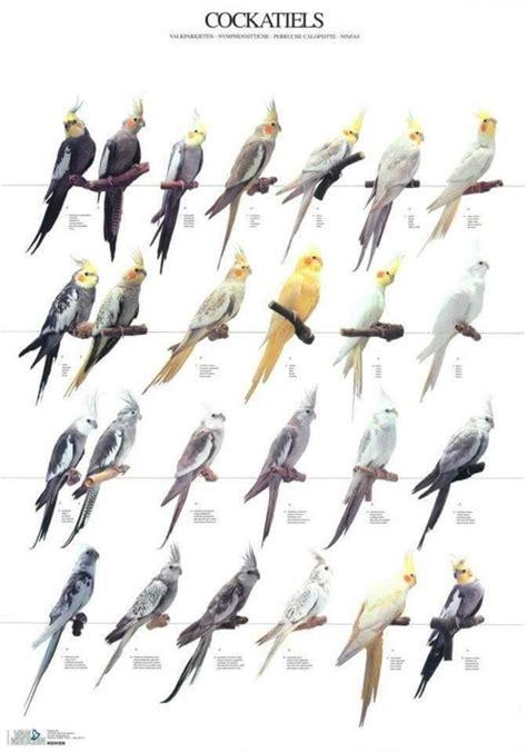 Papagayos Ninfa | Animales Varios | Ninfas aves, Aves y ...