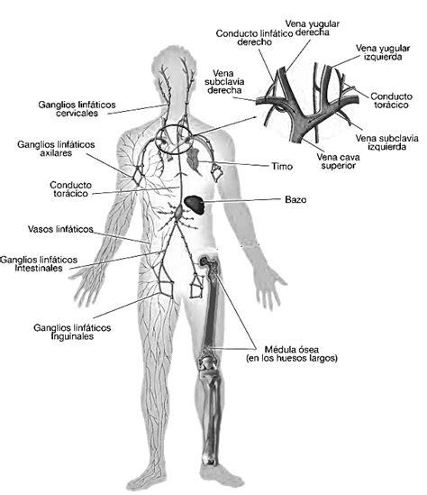 Para que sirve el sistema linfatico
