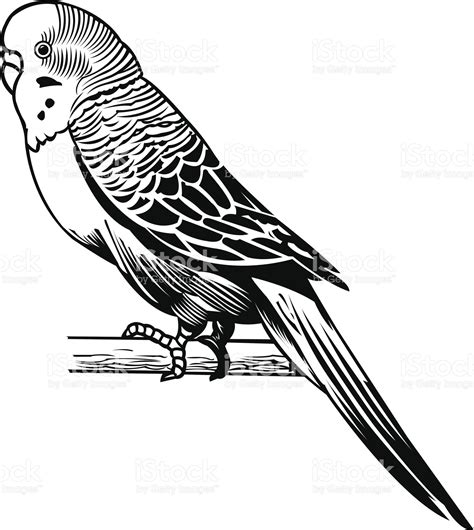 Parakeet   Domestic Bird. Graphic vector illustration of a ...