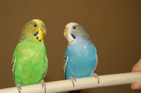 Parakeet Pet Birds 14