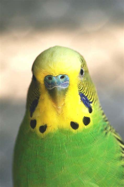 Parakeet Picture: green parakeet