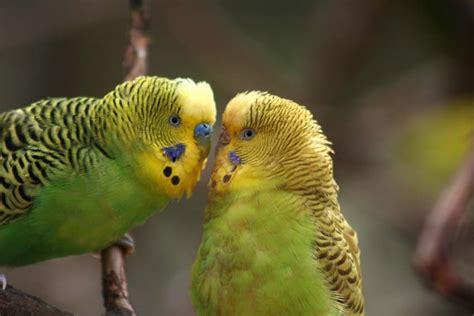 Parakeet Picture: green parakeets