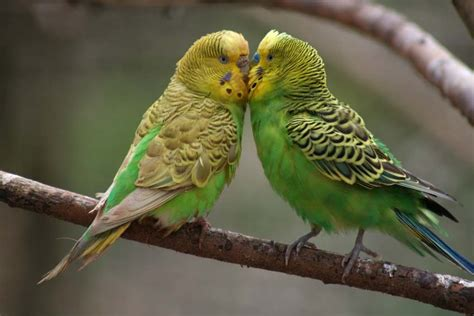 Parakeet Picture: green parakeets on a branch