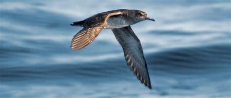 Pardela balear: el ave marina más amenazada de Europa – GL ...