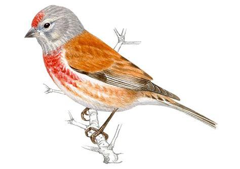Pardillo común | SEO/BirdLife | Aves hermosas, Aves, Pajaros