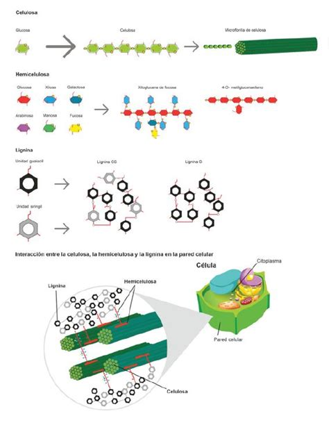 Pared celular de las plantas: Función, estructura y ...