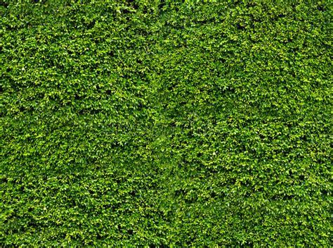 Pared Verde De La Hoja Hojas Frescas Naturales Fondo Y ...