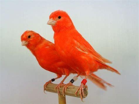 Pareja de canarios naranja  con imágenes    Canarios ...