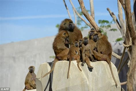 Paris zoo is evacuated after baboons escape enclosure ...