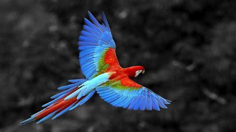 Parrot Birds HD Wallpapers   Wallpaper Rasim