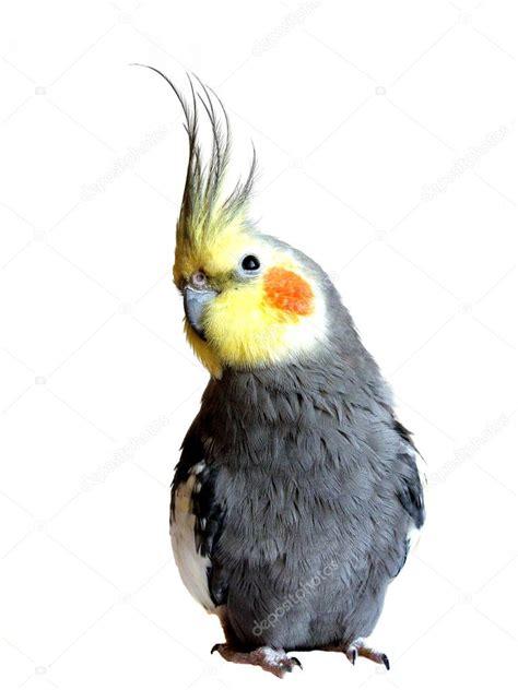 Parrot nymph — Stock Photo  Zhelya #1159653