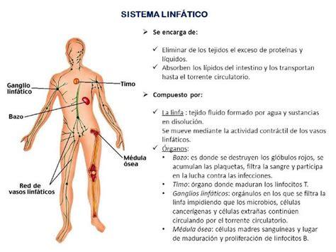 Partes del sistema linfático y sus funciones   Sistema ...