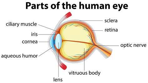 Parts of human eye with name   Download Free Vectors ...