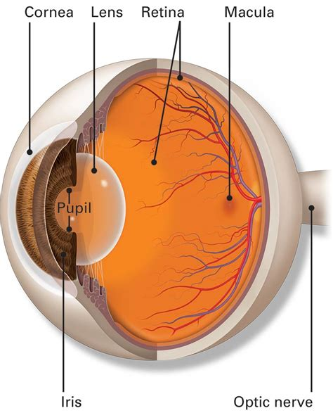Parts of the Eye   American Academy of Ophthalmology