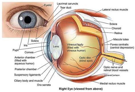 Parts of the eye diagram | Healthiack