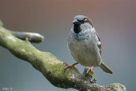Passer domesticus Foto & Bild   tiere, wildlife, wild ...