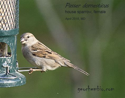 Passer domesticus, house sparrow: brief facts, taxonomy ...