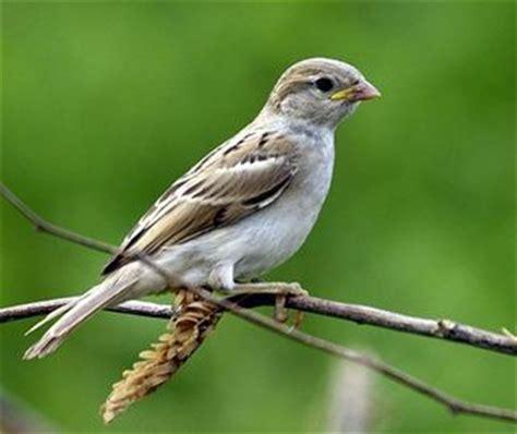 Passer domesticus indicus, juvenile image