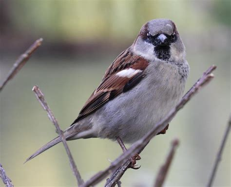 Passer domesticus   This is a picture of Passer domesticus ...