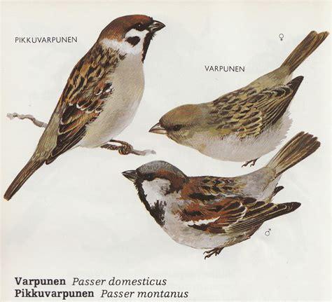 Passer Domesticus: top 10 birds.