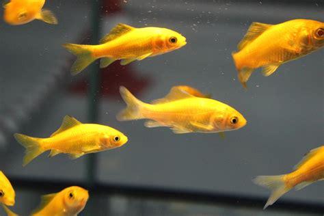 Peces de agua fría: Características, tipos, reproducción ...