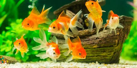 peces de agua fria cuidados ficha   Linio Colombia Blog