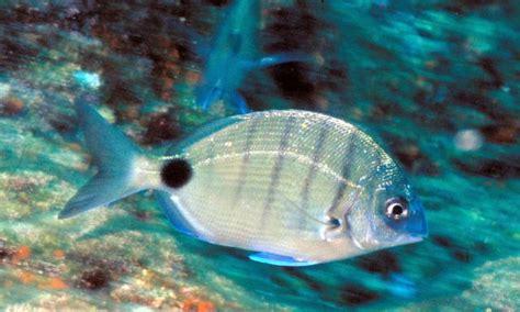 Peces del mar mediterraneo/Peces/17