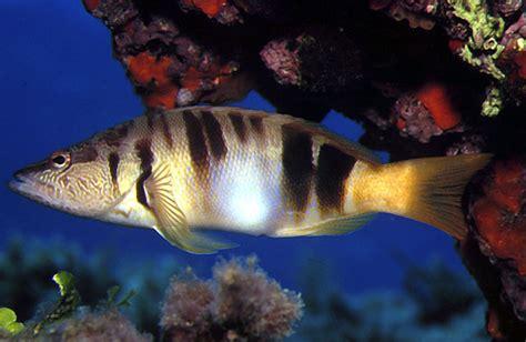Peces del mar mediterraneo/Peces/48