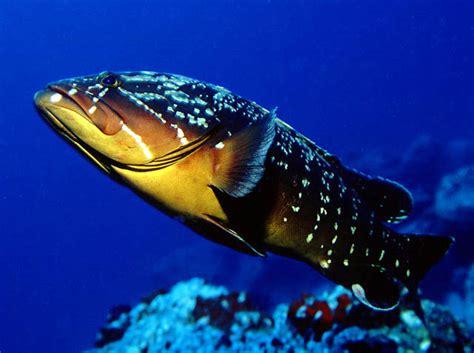 Peces del mar mediterraneo/Peces/50