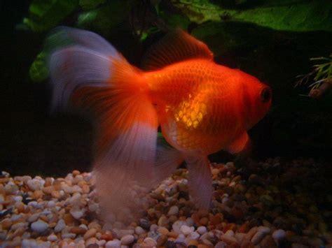 peces para acuario de agua fria   facilisimo.com