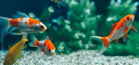 Peces que limpian el acuario – La Nación