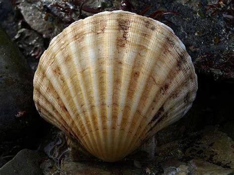 Pecten maximus  Linnaeus, 1758    Great scallop  Marine ...