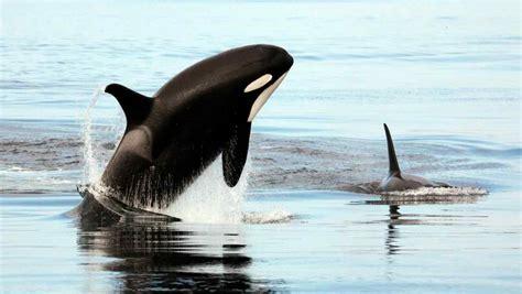 Pelea de ballenas jorobadas contra ballenas asesianas para ...