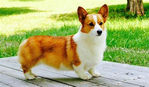 Pembroke Welsh Corgi   perros foto  39775333    fanpop