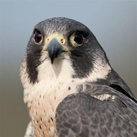 Peregrine Falcon | British Bird Of Prey Centre Wales
