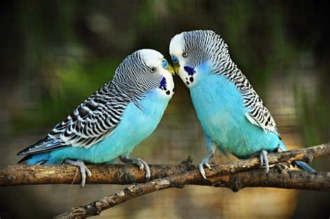 Periquitos enamorados :: Imágenes y fotos
