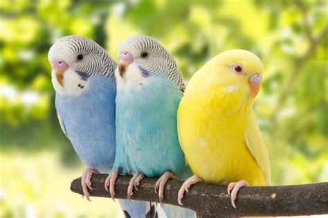 Periquitos: Las Aves Domésticas Más Comunes   Aves Exóticas