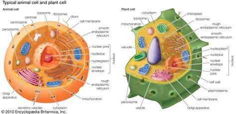peroxisome | Description & Function | Britannica