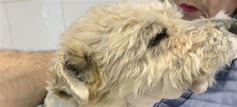 Perro senior con lipoma en el cuello y soplo cardíaco ...