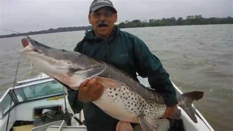 Pesca   Surubim de 1.57metros e 65+ kg   Ita Ibaté ...
