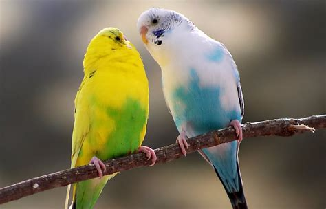 Pet Birds for Sale: Finches, Parakeets, Conures & More ...