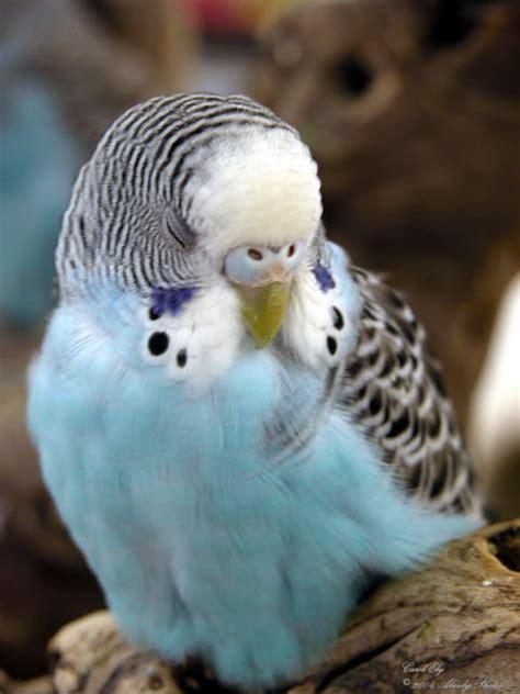 Pets   Birds   Parakeet