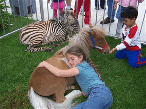 Petting Zoo Minature Pony/Baby Zebra | Yelp