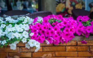 petunias flores resistentes sol directo| Handfie DIY