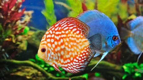 Pez disco, el rey de los peces de acuario   Hogarmania
