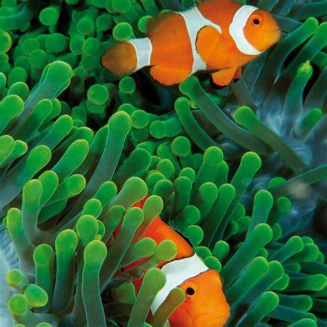 Pez Payaso Percula Acuario Pecera Nemo   $ 279.00 en ...