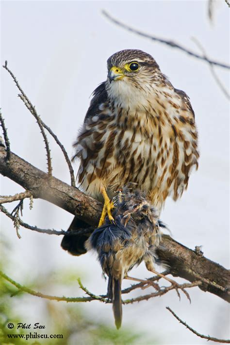 Phil Seu Photography Blog: Birds of prey with prey