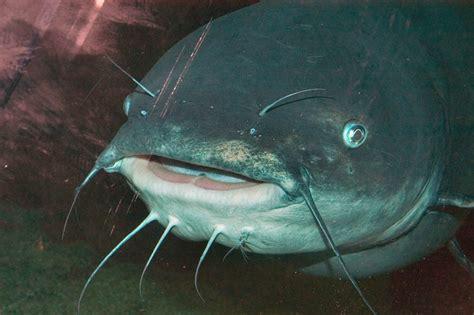 Photo 437 26: A catfish in Aquarium of the Americas. New ...