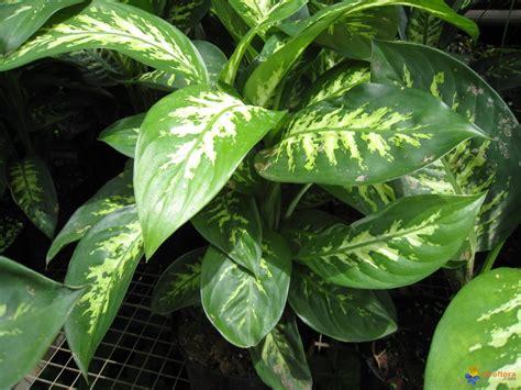 Photo : Dieffenbachia maculata